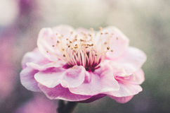 слива цветения розовая Стоковая Фотография