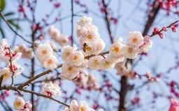 Слива blossoming весной Стоковые Изображения RF