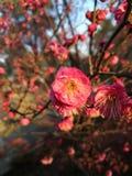 Слива blossoming вне внутри солнечность Стоковое Изображение RF