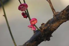 Слива blossoming вне в пределах холодного дня утра Стоковое Изображение RF