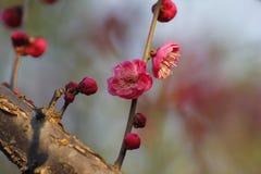 Слива blossoming вне в пределах холодного дня утра Стоковая Фотография
