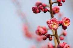 Слива blossoming вне в пределах холодного дня утра Стоковые Изображения