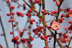 Слива blossoming вне в пределах холодного дня утра Стоковое фото RF