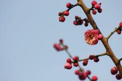 Слива blossoming вне в пределах холодного дня утра Стоковые Изображения RF