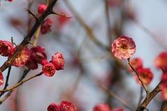Слива blossoming вне в пределах холодного дня утра Стоковое Изображение