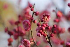 Слива blossoming вне в пределах холодного дня утра Стоковая Фотография RF