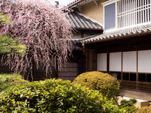 Слива blossoming в японском саде Стоковое Изображение RF