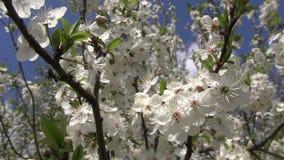 Слива blossoming на весенний день акции видеоматериалы