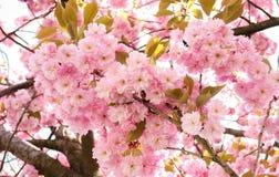 Слива Serrulata - дерево Стоковые Фотографии RF