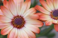 Сливк 2 персика маргаритки Стоковые Фото