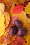 Сливы над листьями осени Стоковая Фотография