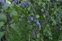 сливы пурпуровые Стоковое Изображение RF