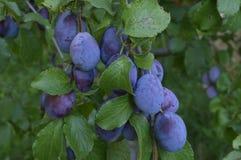 сливы пурпуровые Стоковое Изображение