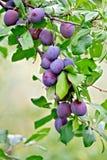 Сливы фиолетовые на ветви Стоковая Фотография