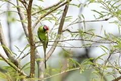 Слив-головый длиннохвостый попугай Стоковые Фотографии RF