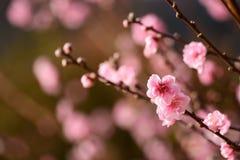 Слив-цветение японца UME Стоковые Фотографии RF