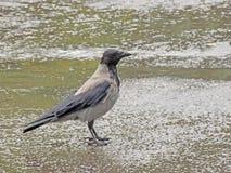 С капюшоном ворона в дожде Стоковое Изображение RF