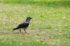 С капюшоном ворона в парке Риги в Латвии находя еда от Стоковое Изображение