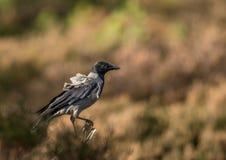 С капюшоном ворона сидя на ветви с предпосылкой цвета осени Стоковые Фотографии RF