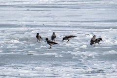 С капюшоном ворона собирает остатки еды выведенные рыболовами на лед замороженного реки Стоковая Фотография RF