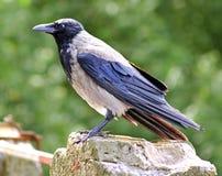 С капюшоном ворона Стоковая Фотография