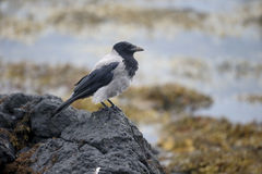 С капюшоном ворона, cornix corvus Стоковые Изображения