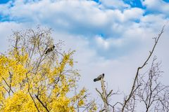 С капюшоном вороны сидя на верхних частях безлистных берез с желтыми листьями, Стоковая Фотография RF