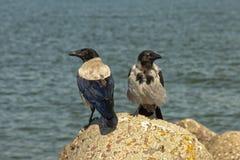 2 с капюшоном вороны - cornix Corvus Стоковая Фотография