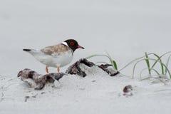 С капюшоном ржанка - shorebird cucullatus Thinornis малый - wader - на песчаном пляже Австралии, Тасмании стоковая фотография rf