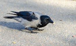 С капюшоном серая ворона стоковые фото