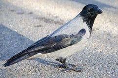 С капюшоном серая ворона Стоковая Фотография