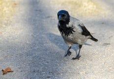 С капюшоном серая ворона Стоковое Изображение RF