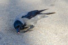 С капюшоном серая ворона Стоковые Изображения