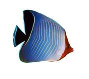 С капюшоном butterflyfish Стоковые Изображения RF