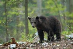 Словенский медведь Стоковое Фото