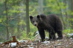 Словенский медведь Стоковое фото RF