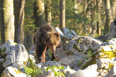 Словенский медведь Стоковые Изображения RF