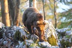 Словенский медведь Стоковая Фотография RF