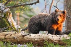Словенский медведь Стоковые Изображения