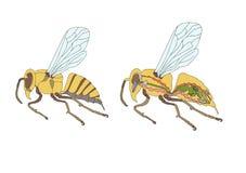 словотолкование, поперечное сечение пчелы иллюстрация вектора