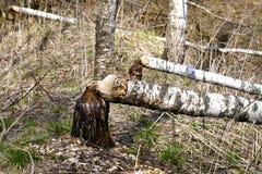 Сложенный вверх beavers березы Стоковое фото RF