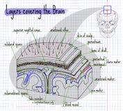 Слои иллюстрации структуры человеческого мозга Стоковое фото RF