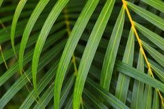 Слои сочных зеленых fronds ладони Стоковые Фото