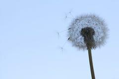 Слойка одуванчика на голубом небе Стоковая Фотография RF