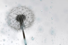 Слойка одуванчика на голубом дожде Стоковое фото RF