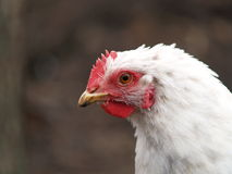 Слой цыпленка Стоковое Изображение