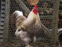 Слой цыпленка Стоковое Изображение RF