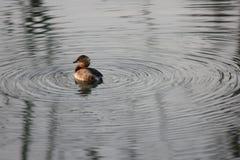 Сломанная дикая утка приходя вне от озера и мирной Стоковое Фото