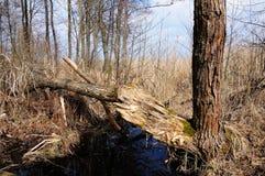 Сломленное дерево в топи леса Стоковые Фото