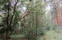 Сломленное дерево после шторма лета в лесе Стоковое Изображение RF